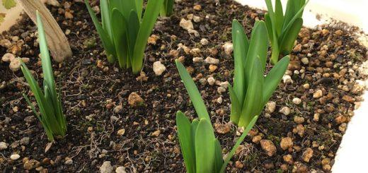 鈴蘭水仙の芽
