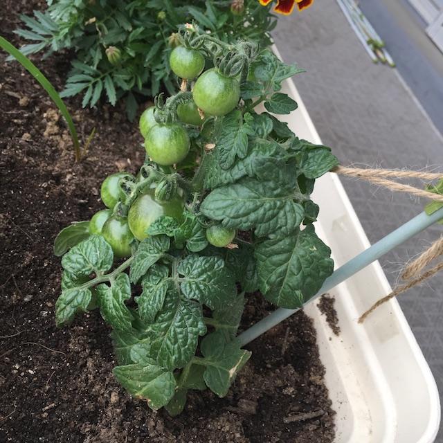 2019-05-14のトマト