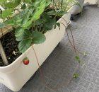 イチゴのランナー