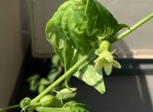 琉球雀瓜の雌花