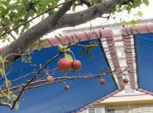 ツルツルのリンゴ