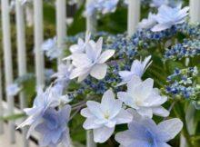 紫陽花キレイ